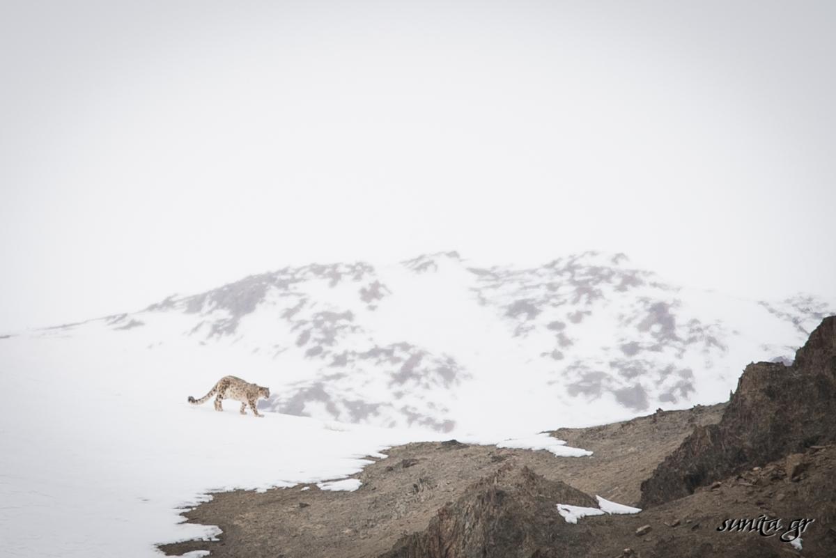 #snowleopard, #greyghost, #ghostcat, #animals,#fauna, #ladakh, #photography, #birding, #travel, #travelphotography, #birdphotography, #rumbak, #snowleopard, #trek, #himalayas, #wildlife, #wildlifephotography