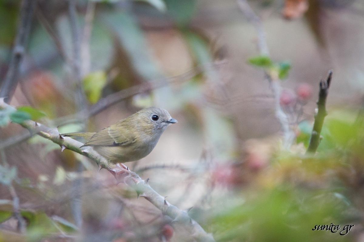DSC_1085 Green Shrike Babbler