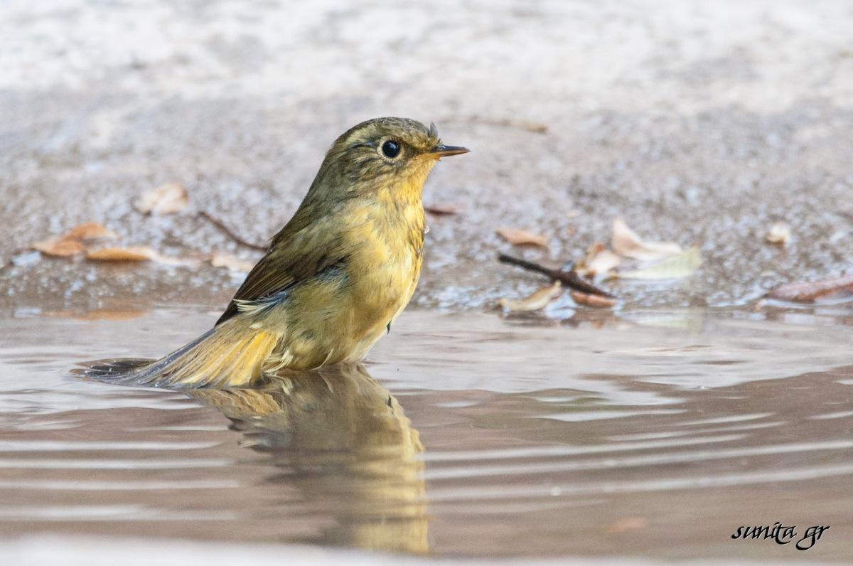 #bird, #beautiful, #instagram, #visastampcollector, #travelgram, #birds, #india, #birdphotography, #pangot, #uttaranchal, #nature, #wildlife, # travel, #travelphotography, #naturephotography, #conservation