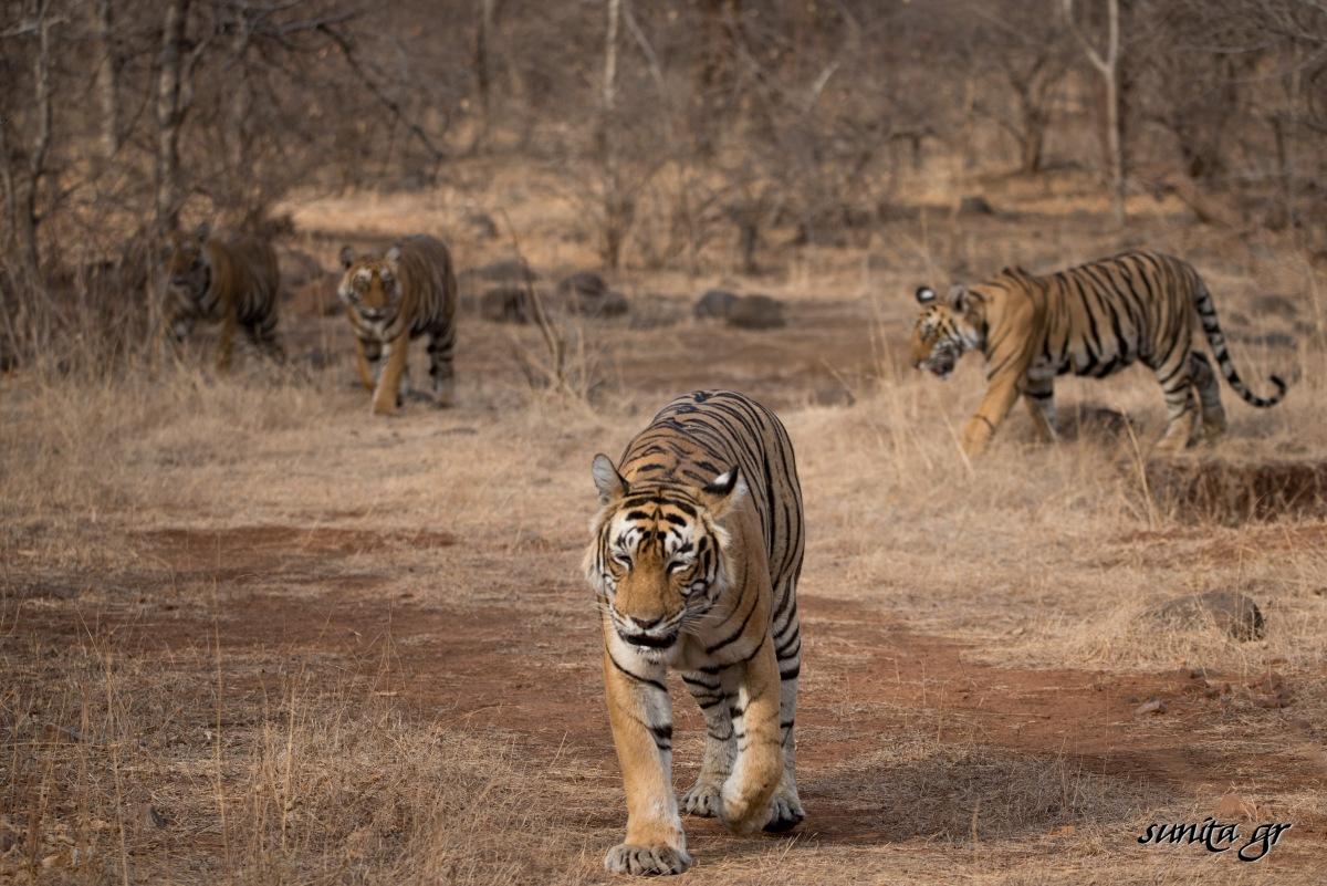#tiger, #cubs, #safaris, #wildlife, #india, #nationalpark, #nationalanimal, #ranthambore, #india, #nature, #photography, #travel, #travelphotography, #wildlifephotography